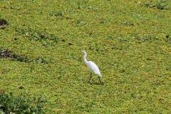 Weißer watender Vogel in der grünen Teich-Kresse Stockfotografie