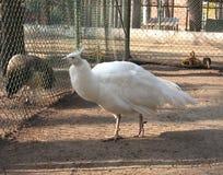 Weißer weiblicher Albinopfau stockfoto