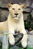 Weißer weiblicher Löwe Lizenzfreie Stockbilder