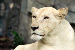 Weißer weiblicher Löwe Lizenzfreies Stockbild
