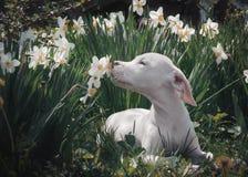 Weißer Welpe atmt den Geruch von Narzissen ein Stockfotos