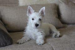 Weißer Welpe, der auf Sofa legt Stockfoto