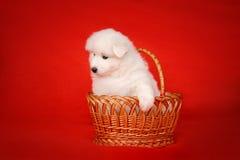 Weißer Welpe des Samoyed-Hundes im Korb auf rotem Hintergrund Stockbilder