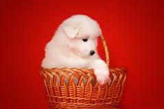 Weißer Welpe des Samoyed-Hundes im Korb auf rotem Hintergrund Stockbild
