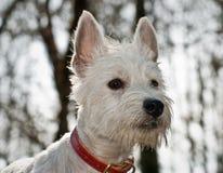 Weißer Westhochlandterrierhund stockbilder