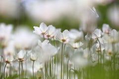 Weißer wilder Frühling Schneeglöckchen Windflower stockfoto