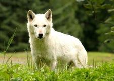 Weißer Wolf Stockfoto
