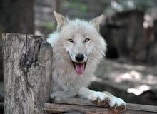 Weißer Wolf Lizenzfreie Stockfotos