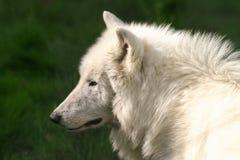 Weißer Wolf Lizenzfreie Stockfotografie