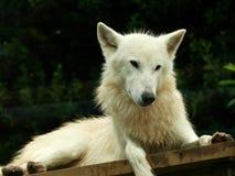 Weißer Wolf Stockbild