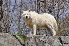 Weißer Wolf auf Klippe Stockfotografie