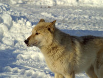 Weißer Wolf im Schnee stockbild