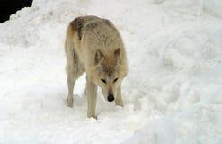 Weißer Wolf im Schnee Lizenzfreies Stockbild