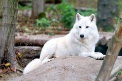 Weißer Wolf im Wald lizenzfreie stockbilder