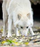 Weißer Wolf im Wald Lizenzfreie Stockfotos