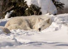 Weißer Wolf Sleeping im Schnee Stockbilder