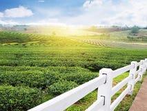 Weißer Zaun und Feld des grünen Tees mit blauem Himmel lizenzfreies stockbild