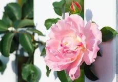 Weißer Zaun und kletternde Rosen Stockfotografie