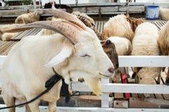 Weißer Ziegenbauernhof Stockfoto