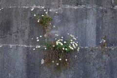 Weißer Zierpflanzenbau auf grauer Wand lizenzfreie stockfotos
