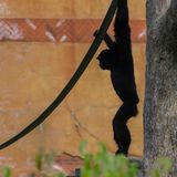Weißes übergebenes Gibbon-Schattenbild Lizenzfreie Stockfotografie