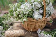 Weißes Achillea Millefolium Lizenzfreie Stockfotografie