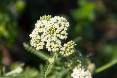 Weißes Achillea-millefolium Blume der Schafgarbe Lizenzfreie Stockfotos
