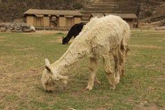 Weißes Alpaka, das an den Ruinen weiden lässt lizenzfreies stockbild