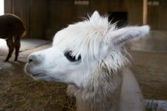 Weißes Alpaka des schönen und netten Babys, das nach vorn schaut stockbilder
