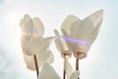Weißes Alpenveilchen im Sonnenschein Stockfotografie