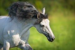 Weißes andalusisches Pferd stockfoto