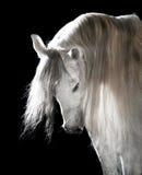 Weißes andalusisches Pferd auf dem dunklen Hintergrund Stockbilder