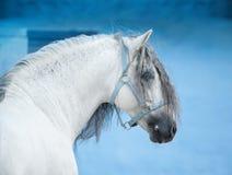 Weißes andalusisches Pferd auf hellem blauem Wandhintergrundporträt Stockbild
