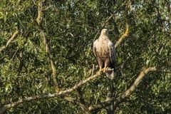 Weißes angebundenes Eagle, Haliaeetus albicilla, Raubvogel lizenzfreie stockbilder