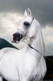 Weißes arabisches Pferd auf dem dunklen Hintergrund Stockfotos