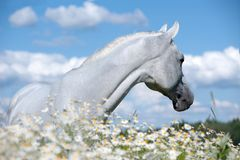 Weißes arabisches Pferd auf dem Kamillengebiet lizenzfreie stockfotos