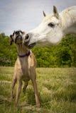 Weißes arabisches Pferd, das great dane nuzzling ist Lizenzfreie Stockbilder