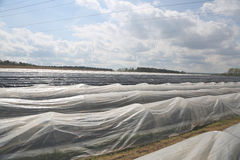 Weißes Asparagas im Plastik, Spargelernte Lizenzfreies Stockfoto