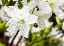 Weißes Azaleenblühen Stockbild