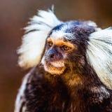 Weißes büscheliges Seidenäffchen des Affen Stockbild