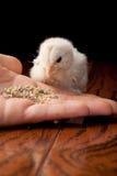 Weißes Babyküken, das aus einer Hand heraus isst Lizenzfreies Stockfoto