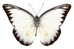 Weißes Basisrecheneinheitssorte Appias lyncida stockbild
