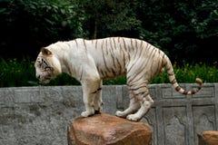 Weißes Bengal-Tigerbalancieren Stockfotografie
