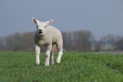 Weißes blökendes und laufendes Lamm Lizenzfreies Stockfoto