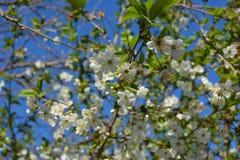 weißes Blühen der Aprikose Stockfotografie