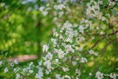 Weißes blühendes Apple Baum-filmte mit Weichzeichnung stockbilder