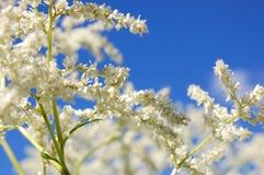 Weißes blühendes spirea Stockfoto