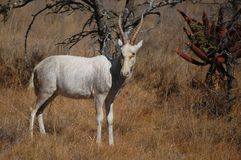 Weißes blesbok (Damaliscus pygargus phillipsi) Stockbilder