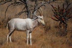 Weißes blesbok (Damaliscus pygargus phillipsi) Lizenzfreies Stockbild