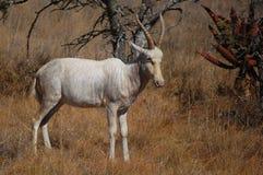 Weißes blesbok (Damaliscus pygargus phillipsi) Stockfotografie